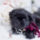 black shih tzu puppy