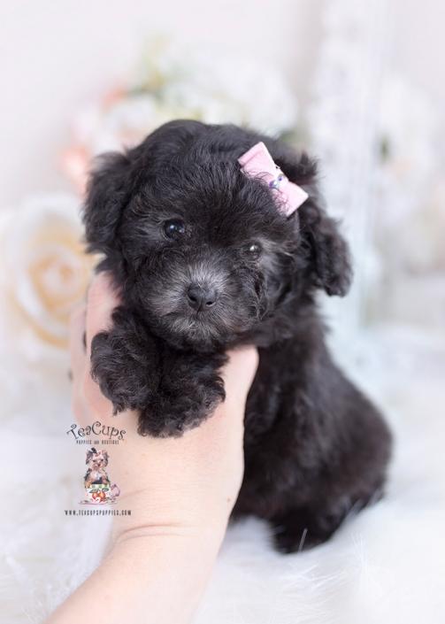 black poodle teacups