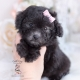 black poodle teacups