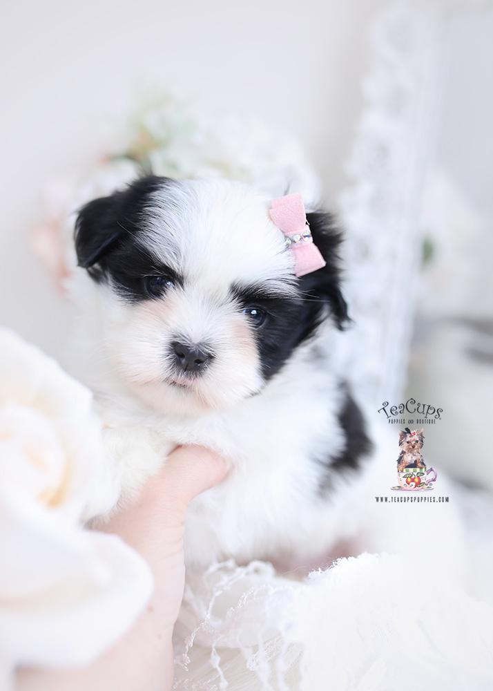 black and white shih tzu puppies
