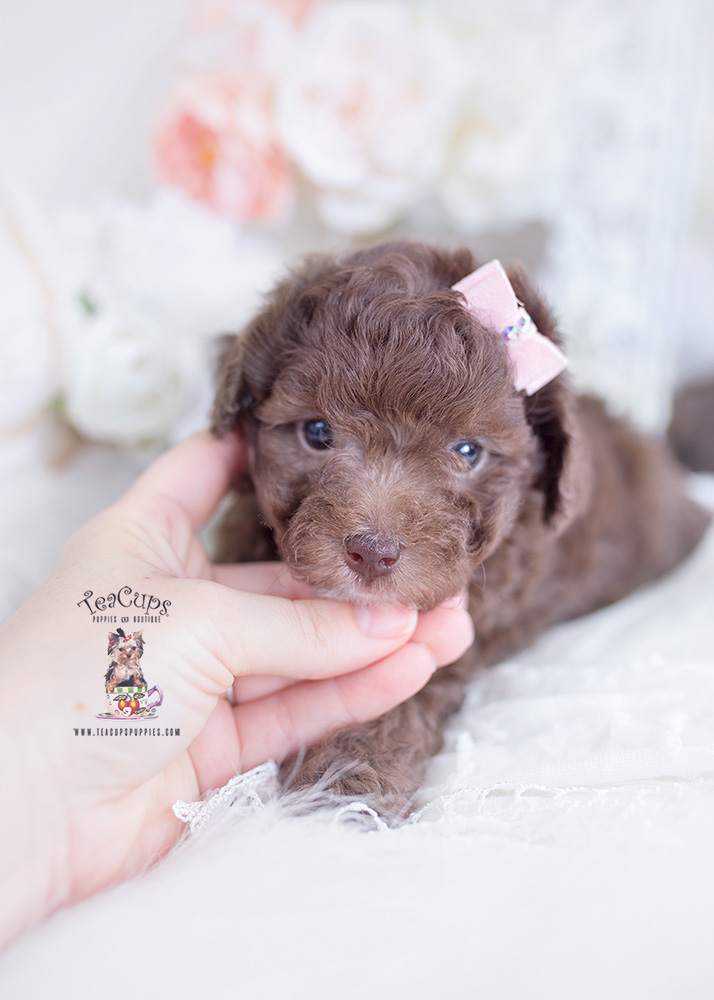 chocolate poodle teacups
