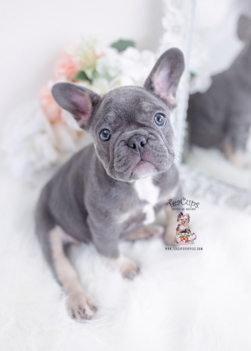 blue tan frenchie