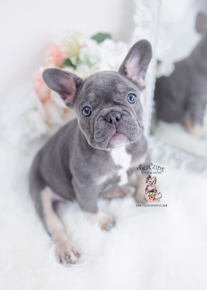 blue frenchie puppy