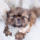 golden shih tzu puppy