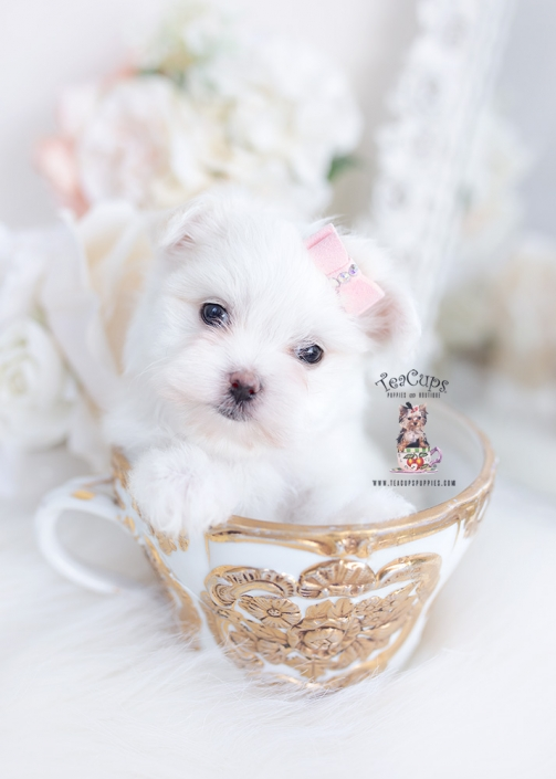 maltese puppies hollywood
