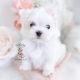 maltese puppies florida