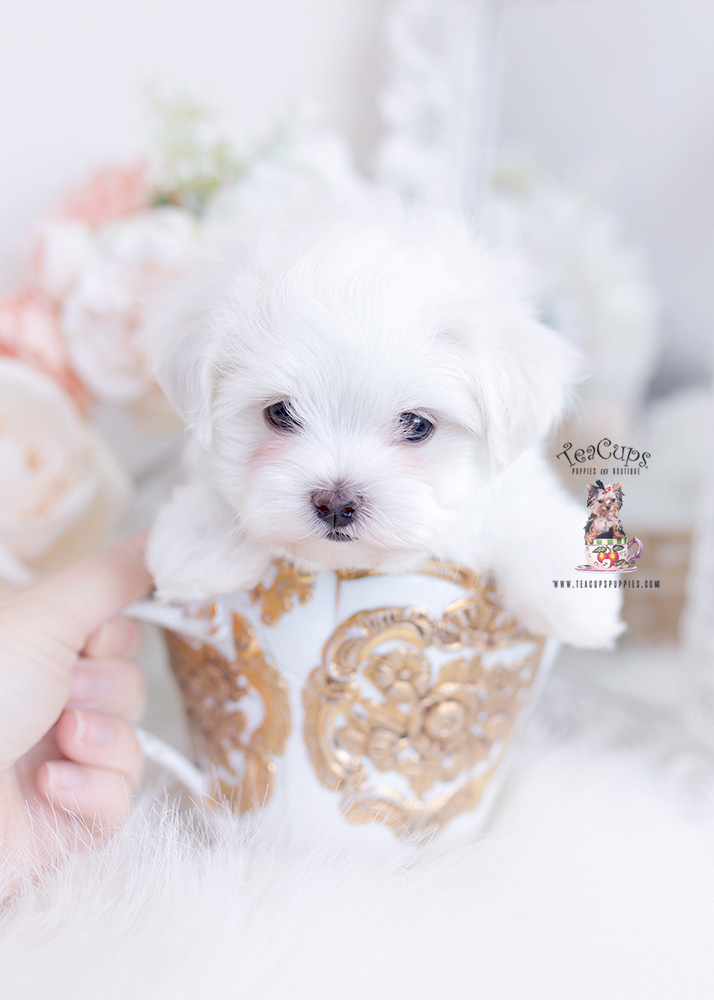 tiny maltese teacup