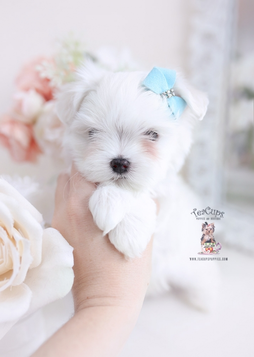 maltese puppies miami florida
