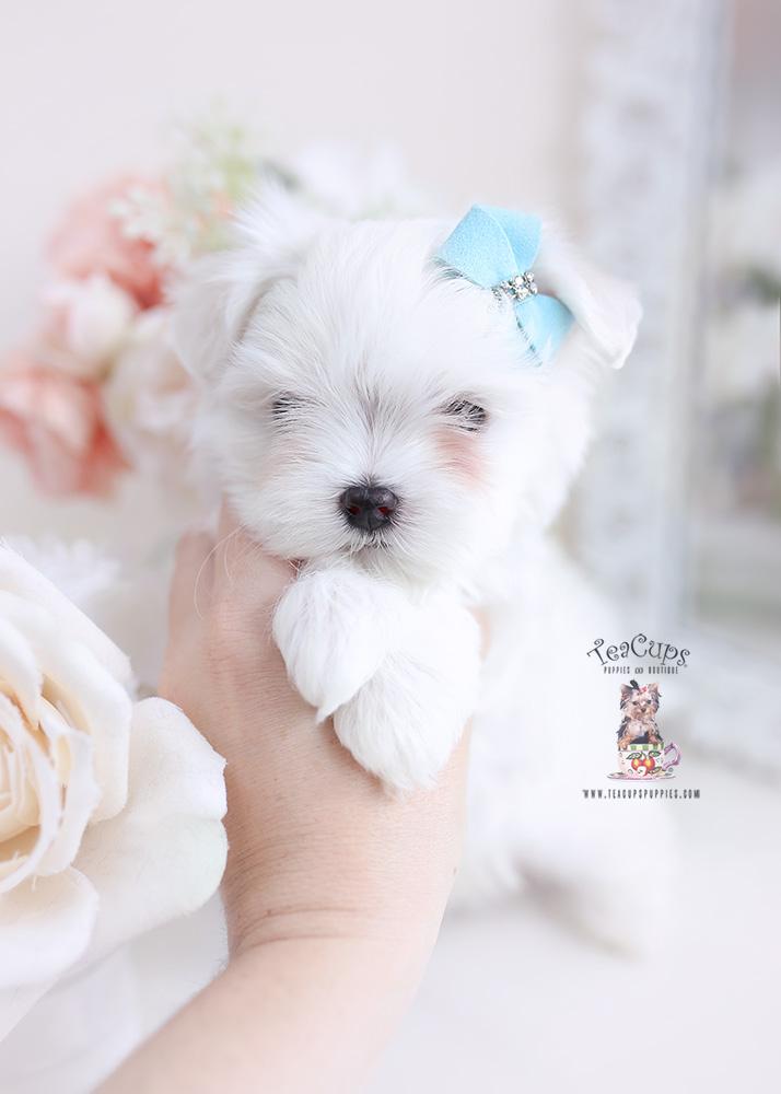 maltese puppies miami florida