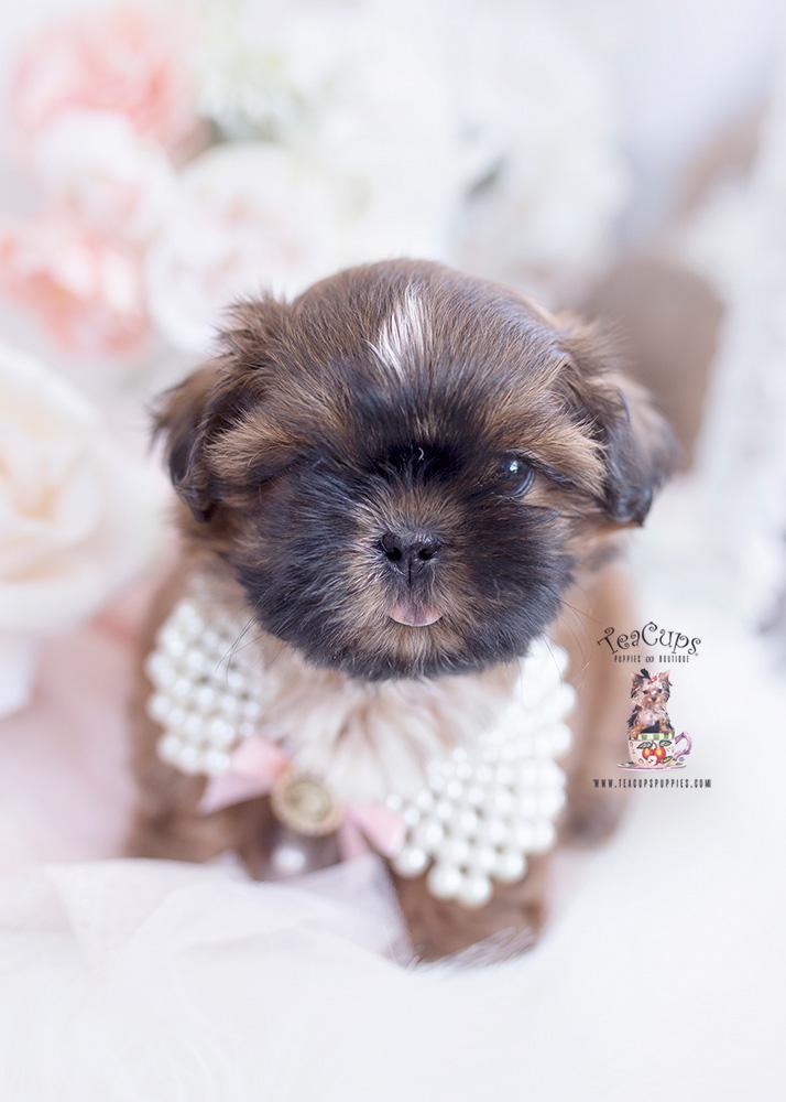 golden shih tzu puppy