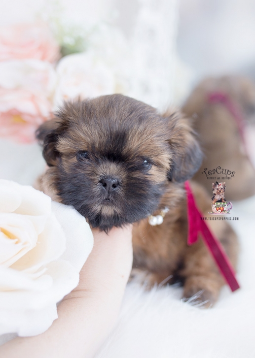 shih tzu puppies hollywood