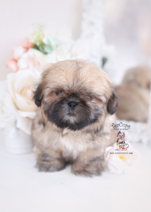 tiny shih tzu puppy