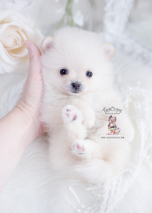 tiny pomeranian teacup puppy