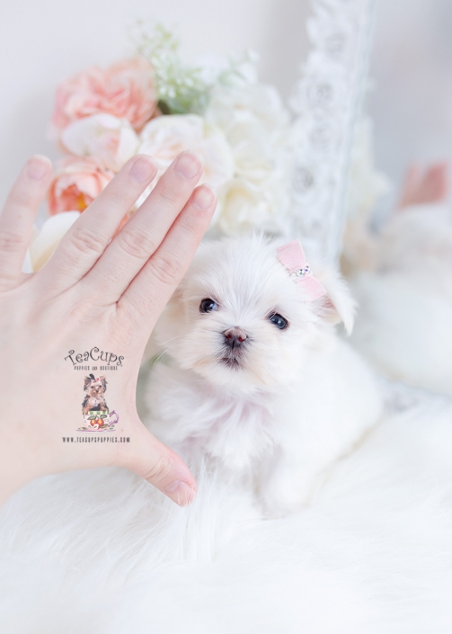 tiny maltese teacup puppies