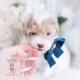 apricot parti toy poodle puppy