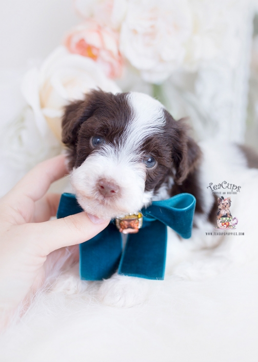 chocolate parti poodle