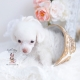 white toy poodle