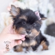 yorkie puppies florida