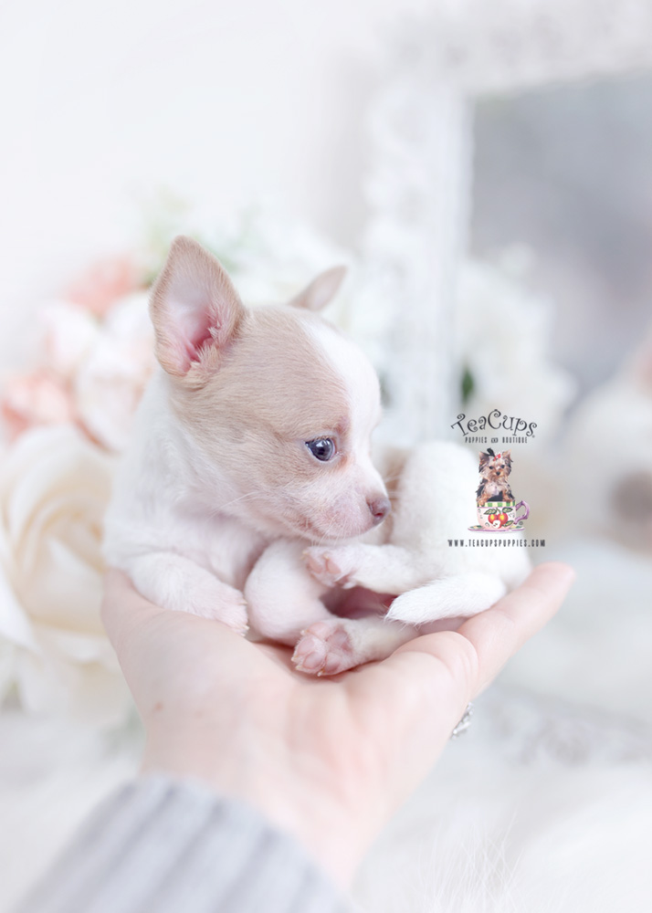 tiny chihuahua teacup puppies
