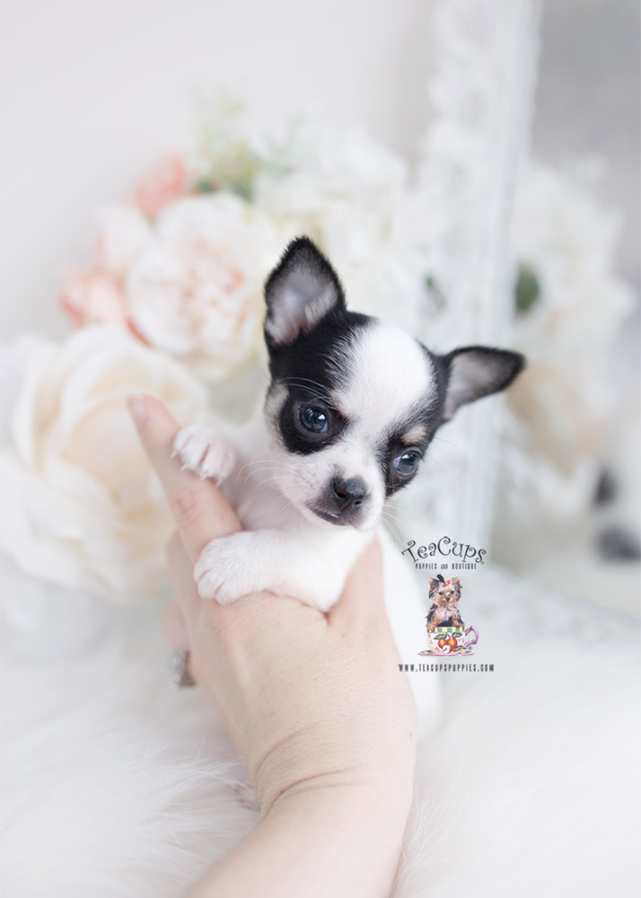 healthy chihuahua puppy