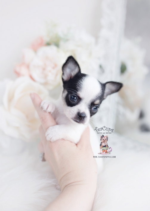 health certified chihuahua puppy
