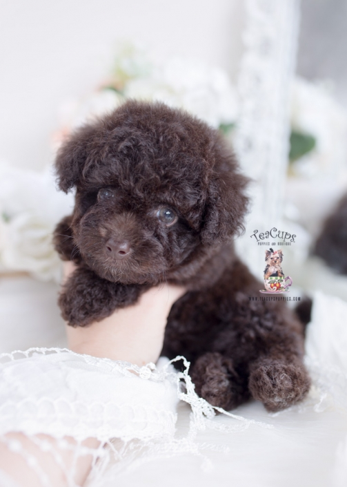 chocolate poodle