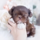 chocolate shih tzu puppy