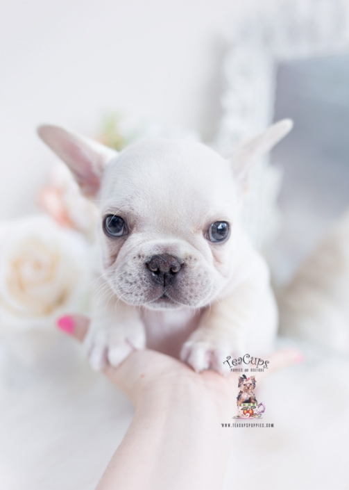 cream frenchie puppy
