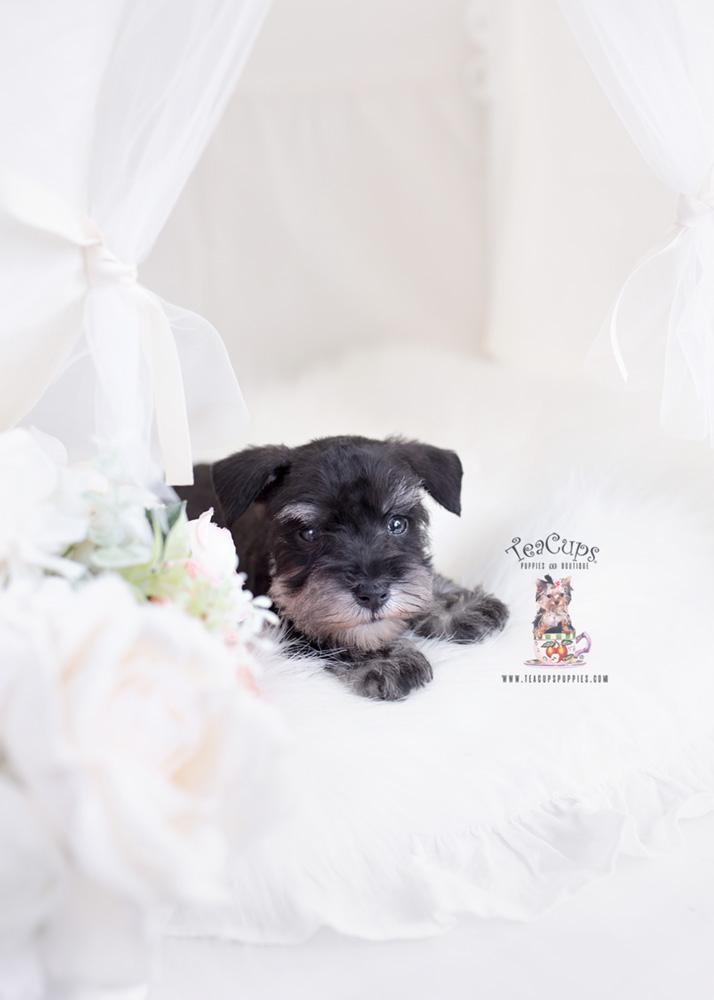 black mini schnauzer puppy