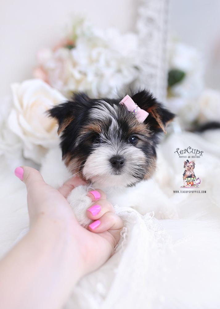 parti yorkie puppy