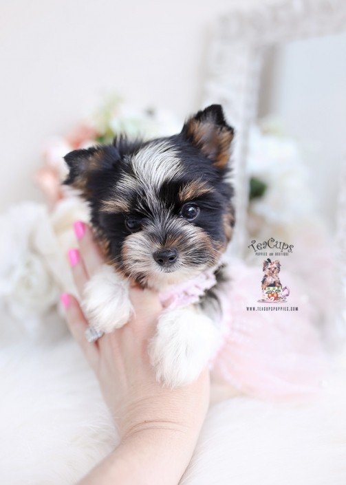 Biewer Terrier Puppies For Sale By Teacups Puppies Boutique Teacup Puppies Boutique