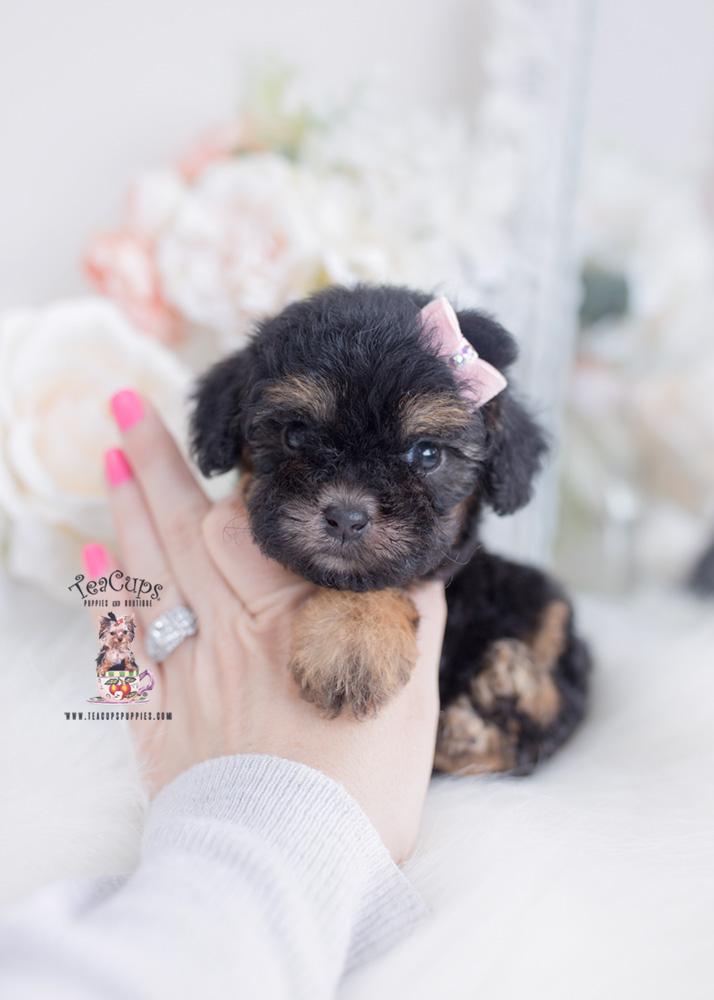 phantom toy poodle