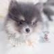 blue tan pomeranian puppy