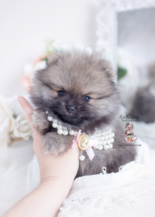 pomeranians by teacup puppies