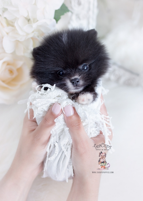 black pomeranian teacup puppies