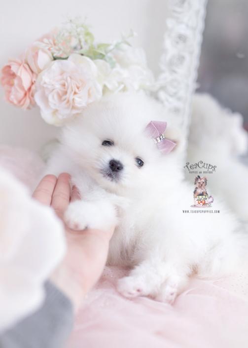 cream pomeranian puppy