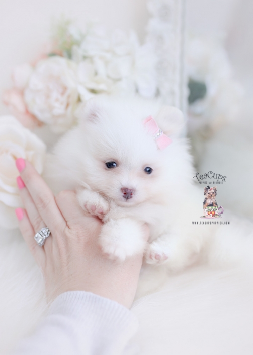 pomeranian puppy for sale