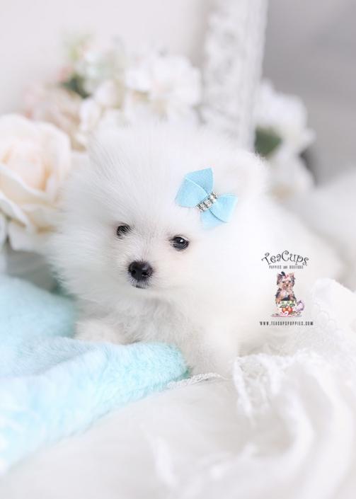 Tiny Teacup Pomeranian Puppies Teacup Puppies Boutique