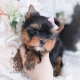 baby doll yorkie puppies
