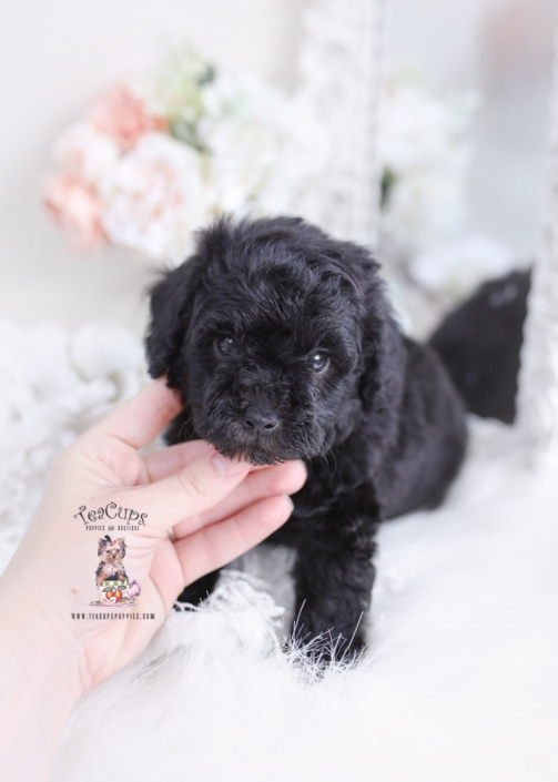 mini poodle puppy