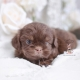 chocolate shih tzu puppies for sale