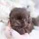 chocolate shih tzu puppy florida