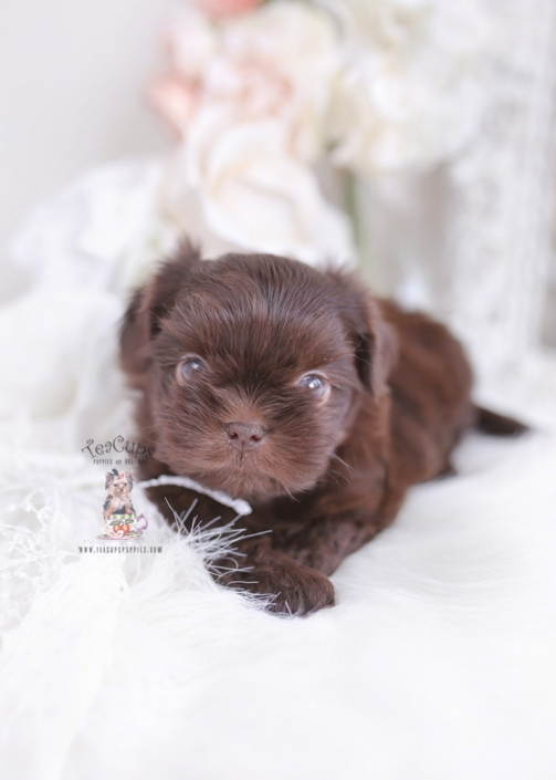 chocolate shih tzu puppy for sale