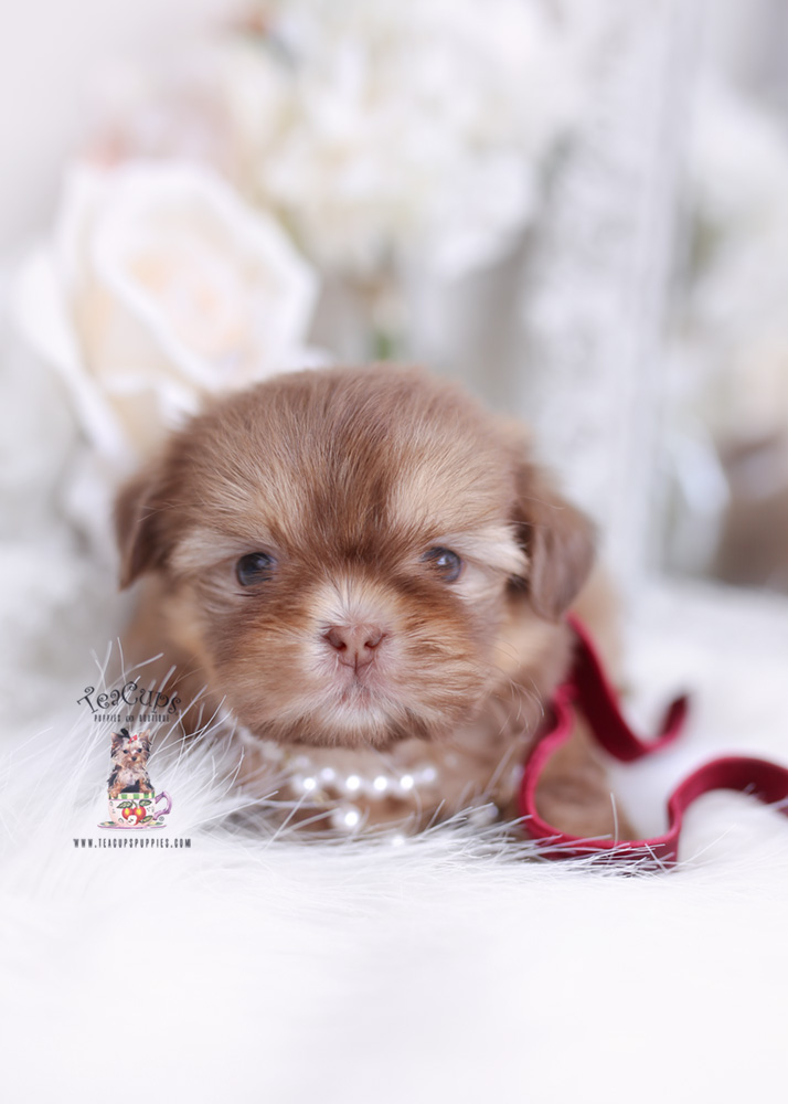 imperial shih tzu puppy