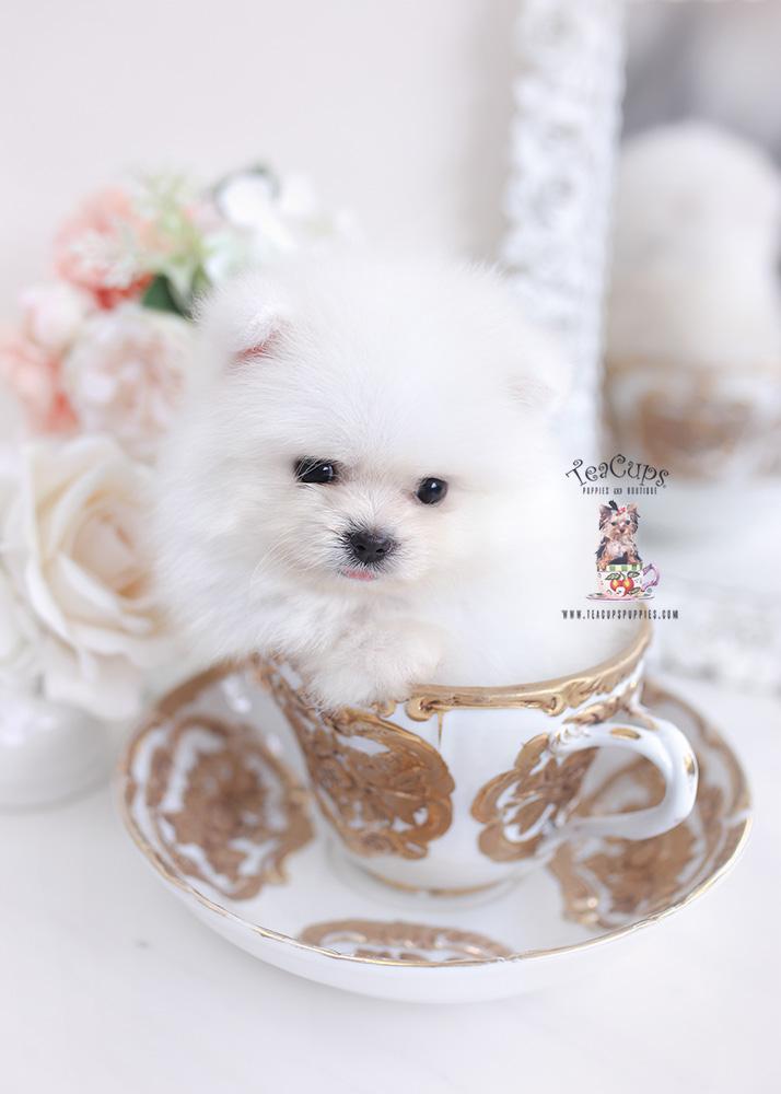 tiny pomeranian teacup puppies