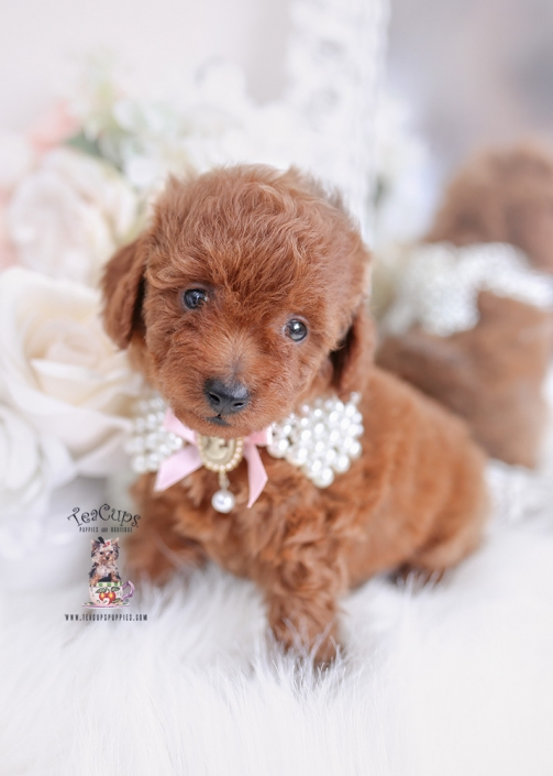 red toy poodle puppy for sale
