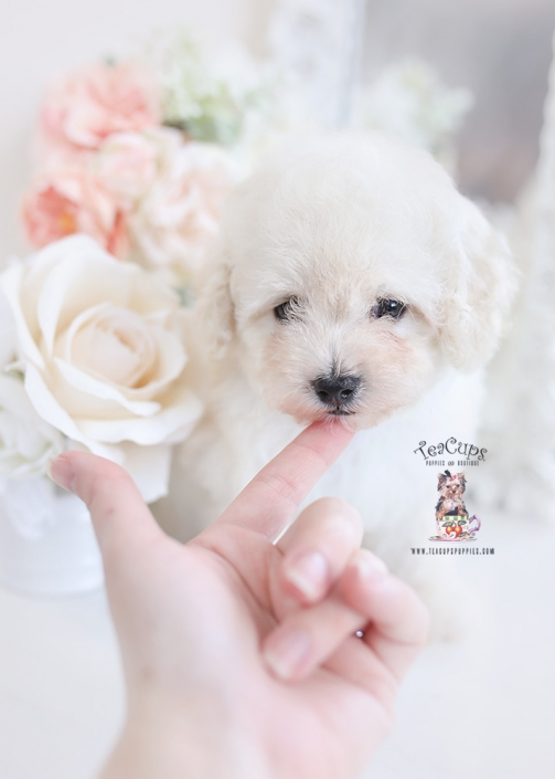 cream poodle puppy