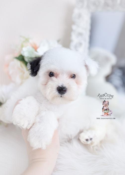 white parti toy poodle