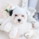 white parti toy poodle