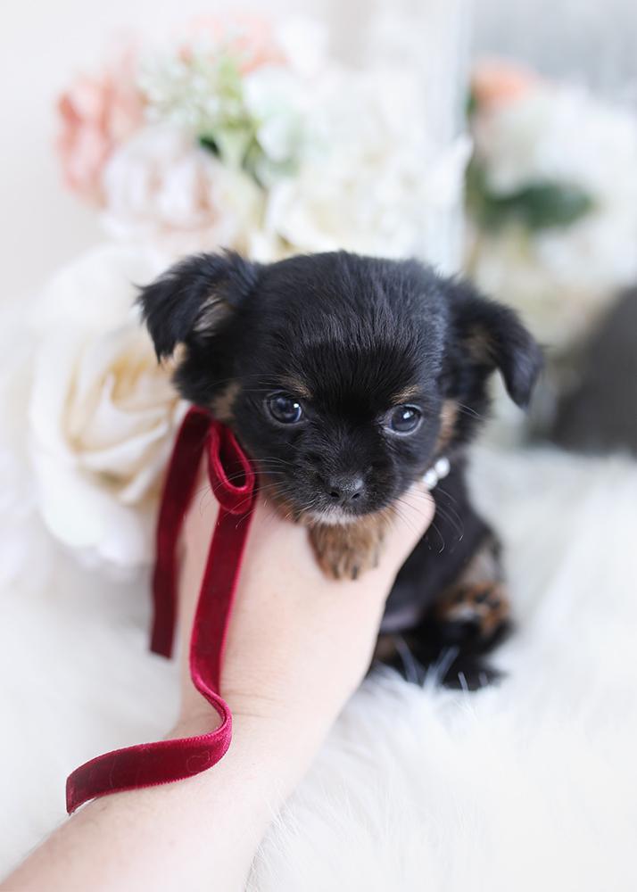 black chihuahua puppy